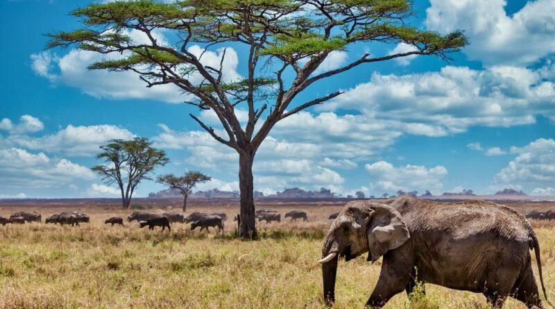 Slon v Africe